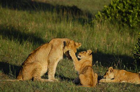 the mara: Lion Cubs with Mother - Masai Mara - Kenya Stock Photo