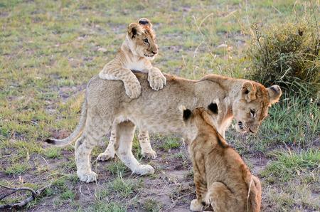 cubs: Lion Cubs with Mother - Masai Mara - Kenya Stock Photo