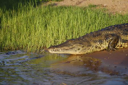 botswana: Crocodile - Chobe National Park - Botswana