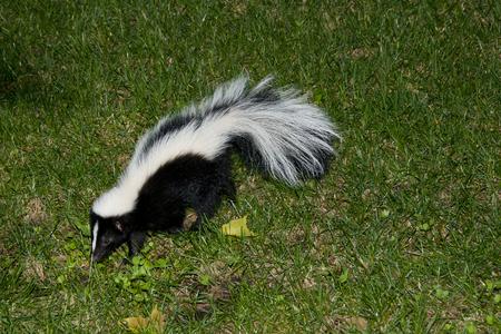 Skunk im Hinterhof Standard-Bild - 61016481