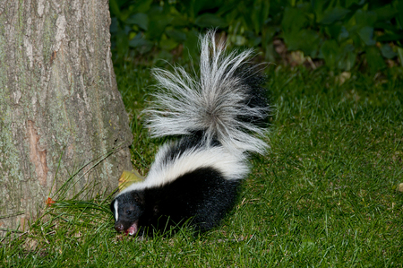 Skunk Eating