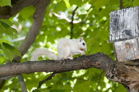 albino: Albino Squirrel