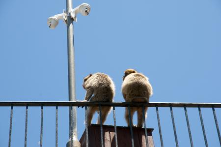 barbary: Barbary Macaques - Gibraltar