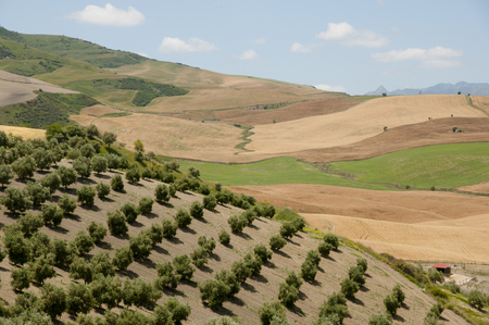 olive groves: Olive Groves - Malaga - Spain