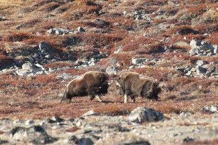 musk: Musk Ox Duel - Greenland Stock Photo