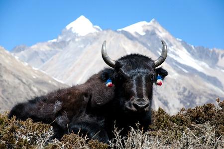 ヤク - ネパール 写真素材 - 61953369