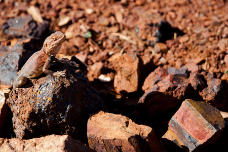 camouflaged: Camouflaged Monitor Lizard - Australia