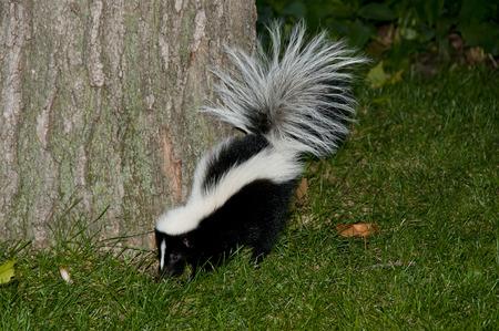 Skunk at Night Foto de archivo