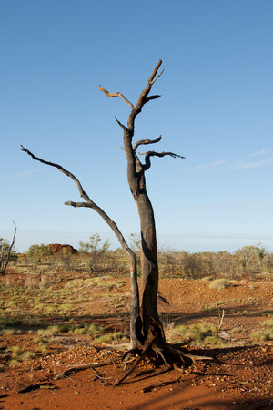 the outback: Burnt Tree - Outback Australia