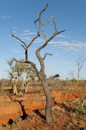 burnt: Burnt Tree - Outback Australia