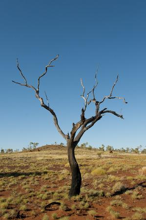 outback australia: Burnt Tree - Outback Australia
