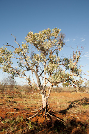 eucalyptus tree: Eucalyptus Tree - Kimberley - Australia Stock Photo