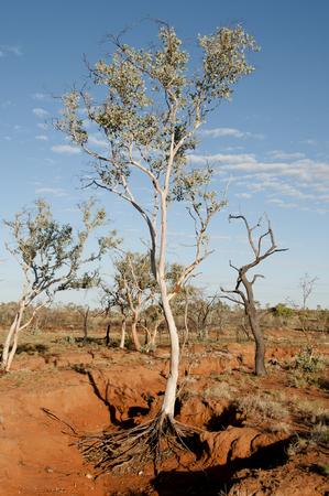 eucalyptus tree: Eucalyptus Tree in Dry Creek - Kimberley - Australia