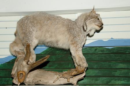 lince: Lynx (Taxidermy) Foto de archivo