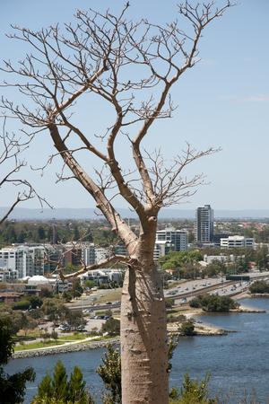 perth: Boab Tree - Perth - Australia