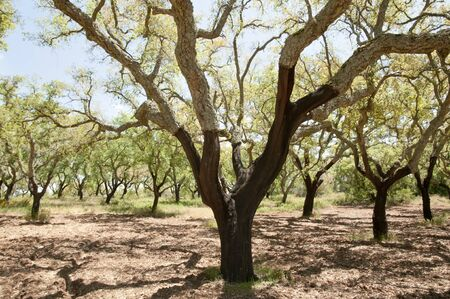 centenarian: Cork Oak Trees