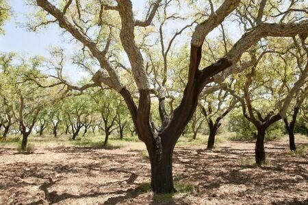 big cork: Cork Oak Trees