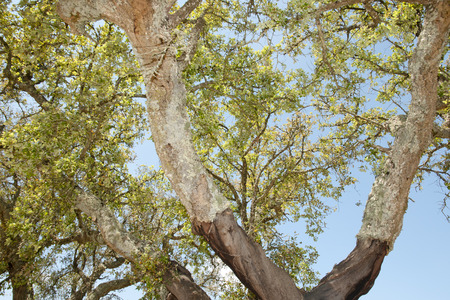big cork: Cork Oak Tree