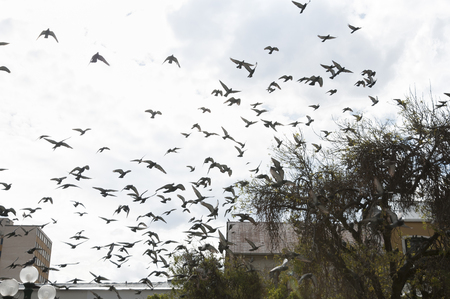 palomas volando: Bandada de palomas del vuelo