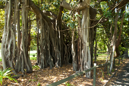 Banyan Fig Tree - Sydney Botanical Garden - Australia Stock Photo