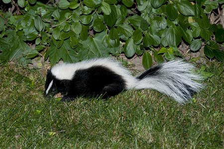 stinks: Skunk in Backyard