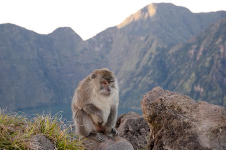 Macaque - Rinjani Caldera - Indonesia Stock Photo