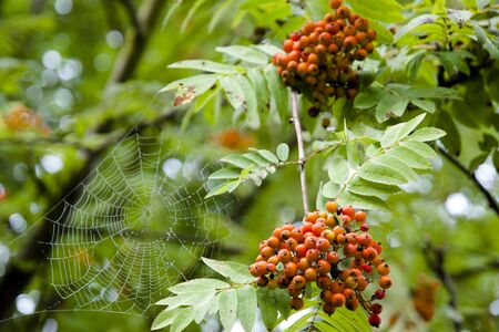 spiderweb: Rowanberries & Spiderweb