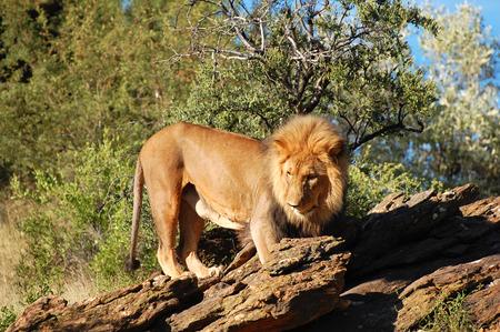 Lion - Namibia Stock Photo