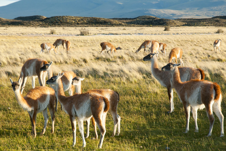 Guanacos enjoying on grass Stock Photo