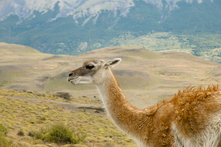 Lama and landscape. Stock Photo