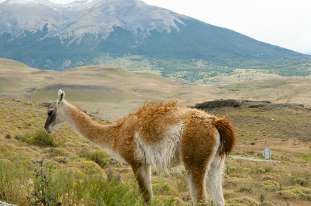 Lamas and landscape. Stock Photo