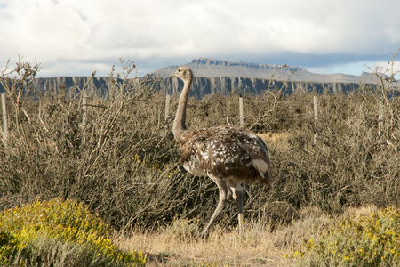 Ostrich - Rhea - Torres Del Paine - Chile