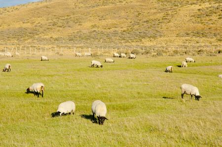 tierra: Suffolk Sheep - Tierra Del Fuego - Chile Stock Photo