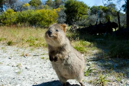 Quokka - Isla de Rottnest - Australia