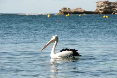 Australian Pelican - Rottnest Island Foto de archivo