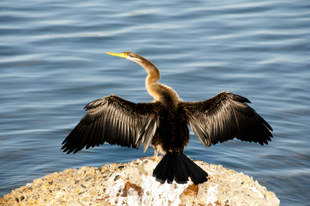 Australasian Darter Bird - Perth - Australia Stock Photo