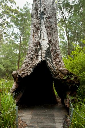 Giant Tingle Tree - Walpole - Australia