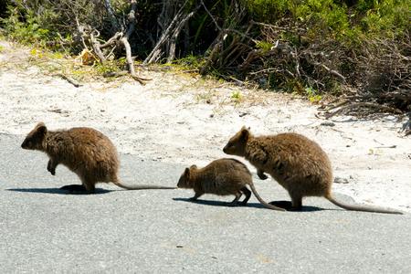 Quokkas - Rottnest Island - Australia Stock Photo