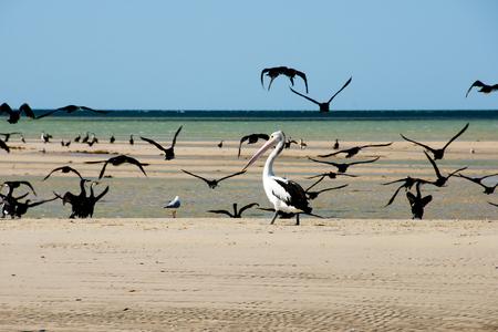 Pied Cormorants & Pelican - Monkey Mia - Western Australia