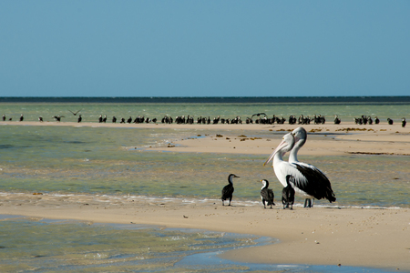 Pied Cormorants & Pelicans - Monkey Mia - Western Australia Stock Photo