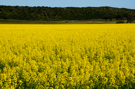 Rapeseed Field in the Mid West - Western Australia 写真素材