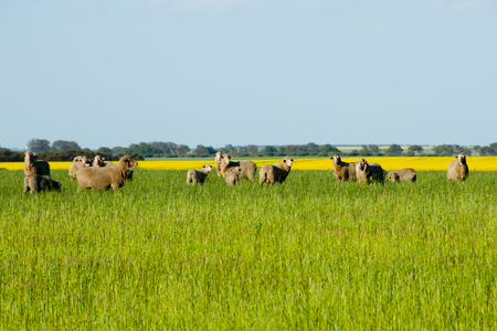 Sheep Pasture - Mid West - Western Australia Stockfoto