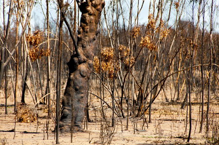 Bushfire Burnt Trees - Australia