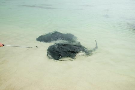 Stingrays - Hamelin Bay - Western Australia