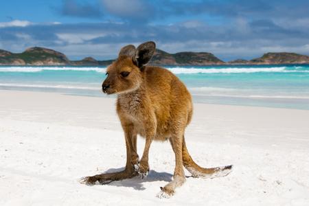Kangaroo on Lucky Bay - Australia Stock Photo