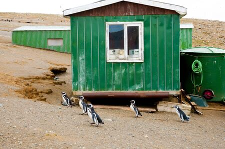 Penguins - Magdalena Island - Chile