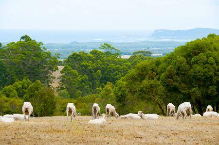 Sheared Sheep - Western Australia Reklamní fotografie