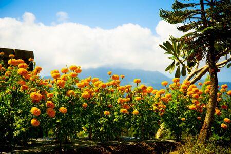 Field of Marigold Flowers - Indonesia 写真素材