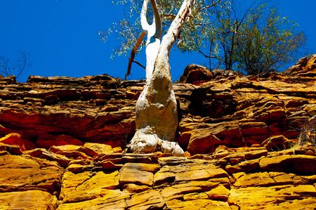 Eucalyptus Tree Growing in Rock Cliff - Australia 写真素材