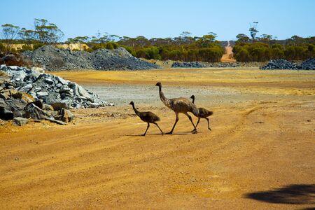 Emu Family in the Wild - Australia